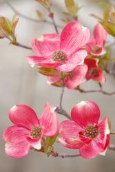 Dog wood flowers