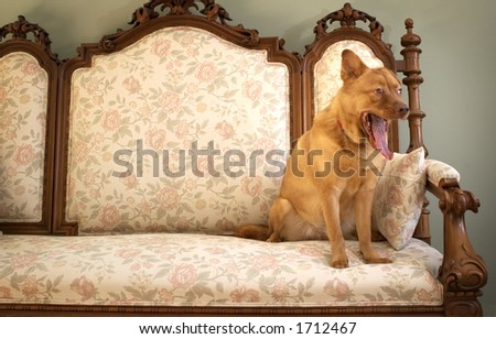 Dog yawning (Another boring day in the mansion)