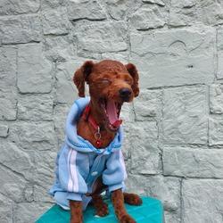 Dog yawning in blue jumper