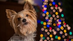 Dog, yorkshire terrier biewer under the Christmas tree with colorful lights