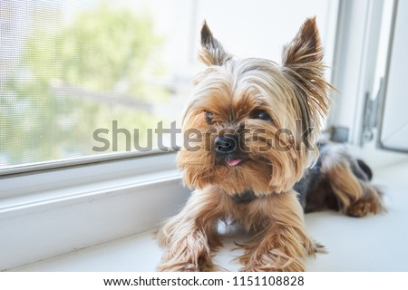 Dog Yorkshire Terrier eats a snack                 #1151108828