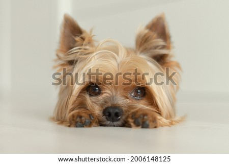 dog Yorkshire Terrier lies on the floor with paws forward, white background, light photo Stock fotó ©