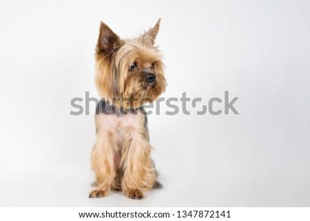 Dog yorkshire terrier on white background #1347872141
