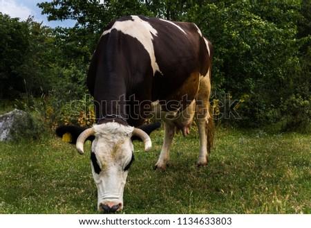 dogada otlayan inek süt makinası Stock fotó ©