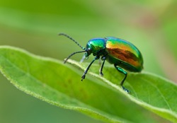 Dogbane beetle (Chrysochus auratus) on leaf of dogbane (Apocynum cannibinum). Beetle feeds on dogbane leaves, which are toxic. Bright iridescence on beetle warns predators against attack.