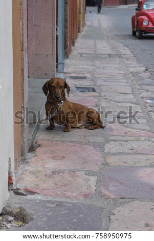 Doggy Day-a sweet Dachshund, sitting on a stone sidewalk, with a red vw bug, in the background, in San Miguel de Allende