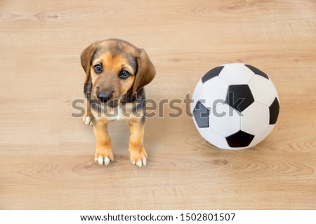 Doggy playing with a soccer ball at looking at camera  #1502801507