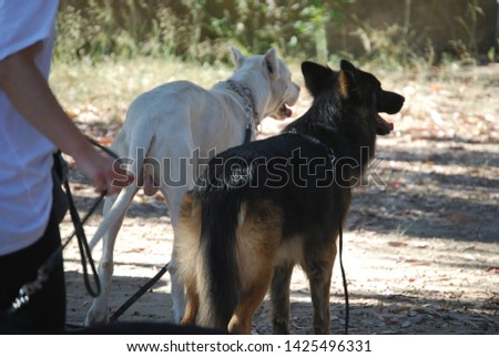 Argentinian Dog / Dogo Argentino Free Images and Photos