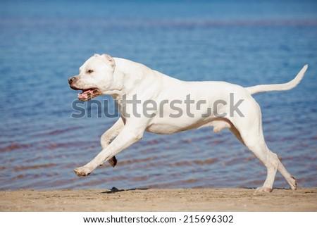 dogo argentino dog runs on the beach