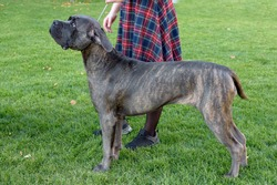 Dogo Canario stands next to his mistress against a green lawn. Dog walking in the spring. A large gray dog on a leash is looking up with a sad face.