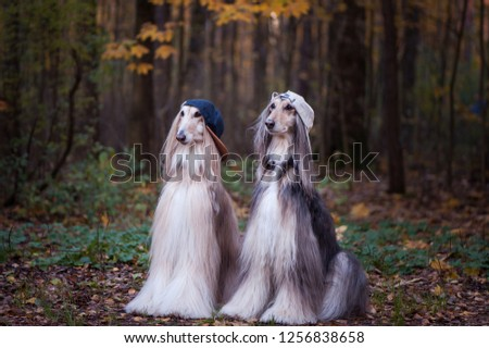 Dogs, Afghan hounds as teenagers, rappers. Dressed in stylish caps, the concept of youth fashion, clothes for dogs #1256838658