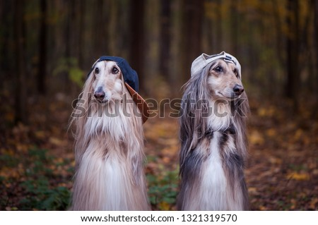 Dogs, Afghan hounds as teenagers, rappers. Dressed in stylish caps, the concept of youth fashion, clothes for dogs #1321319570