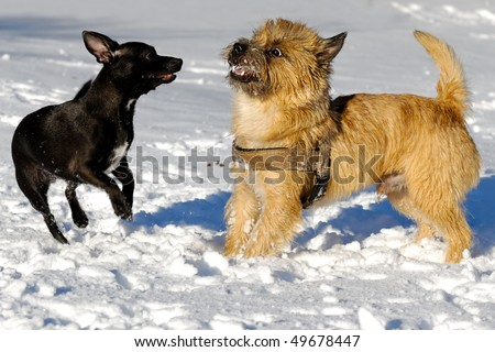 Dogs are playing in the snow. Motion blur. The breed of the dogs are a Cairn Terrier and the small dog is a mix of a Chihuahua and a Miniature Pinscher.
