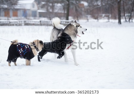 Dogs are playing on lawn. Walking dogs in the winter.