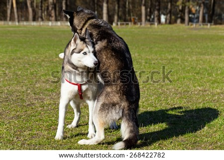 Dogs are playing on the lawn. Black Siberian Husky put her front paws on the back of another dog. Dogs are playing on the lawn.