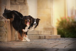 Dogs are posing in the city. Trick dogs with great behaviour. Australian shepherd and border collie.