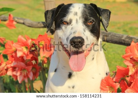 Dogs as pets - Background of the cute and adorable Man\'s best friend.  Dalmatian and Amarillo Flowers