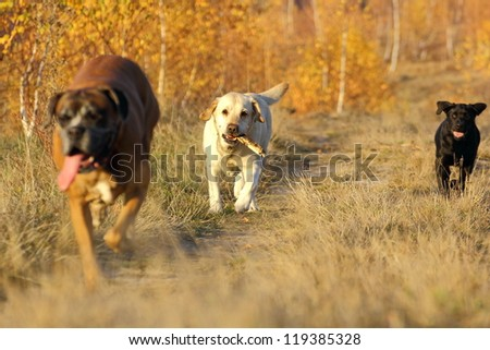 dogs coming with a stick after they tried to catch it