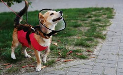 Dogs dressed in a conical collar and blanket post-operative on the street. Pet in a protective collar after sterilization on a walk. Animal after surgery.