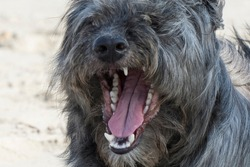 Dogs grin. Aggression among animals. The danger of rabid animals to humans.