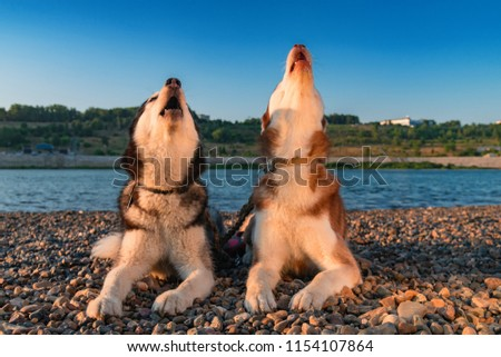 Dogs howl. Two Siberian huskies raised their faces up and howled. Husky sing song
