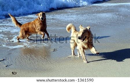 Dogs in the ocean.