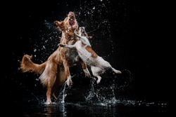 Dogs Jack Russell Terrier and  Nova Scotia Duck Tolling Retriever,  Motion in the water,  aqueous shooting