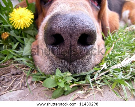 Dogs nose