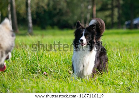 Dogs play with each other. Border Collie. Merry fuss. Young energetic dogs on a walk.  #1167116119
