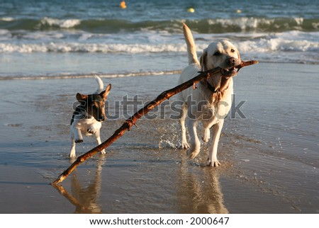 Dogs playing on the beach.