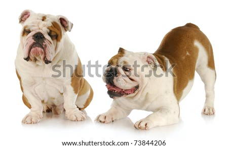 dogs playing - two english bulldogs playing - one trying to ignore the other on white background