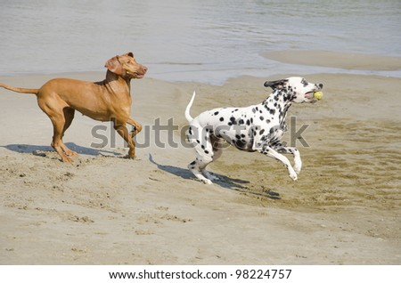 Dogs playing with tennis ball on river bank.