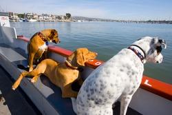 Dogs ride ferry Newport to Balboa Island, California