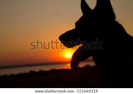dogs silhouette at sunset in the field