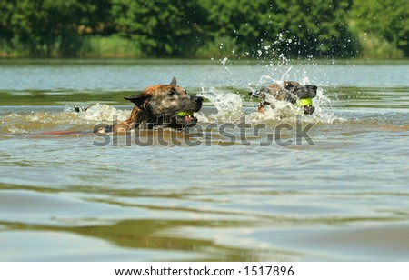 dogs swimming competition