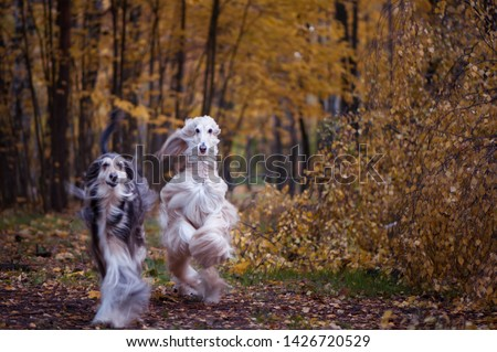 Dogs, two beautiful Afghan hounds, running along the autumn path, walking. Beauty dog in motion #1426720529
