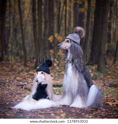 Dogs, Two funny, very cute Afghan hounds hats and scarves on the background of the forest, women of fashion, beauty. Concept clothes, fashion for dogs #1378953032