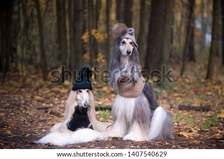 Dogs, Two funny, very cute Afghan hounds hats and scarves on the background of the forest, women of fashion, beauty. Concept clothes, fashion for dogs #1407540629