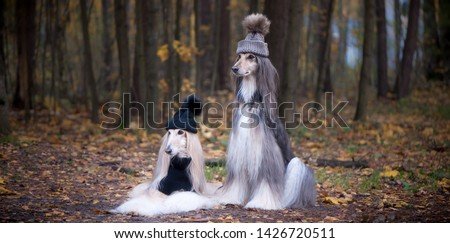 Dogs, Two funny, very cute Afghan hounds hats and scarves on the background of the forest, women of fashion, beauty. Concept clothes, fashion for dogs #1426720511