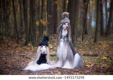 Dogs, Two funny, very cute Afghan hounds hats and scarves on the background of the forest, women of fashion, beauty. Concept clothes, fashion for dogs #1493173298