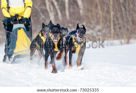 Dogsled Competition - Dobermans Team, focus on the first dog