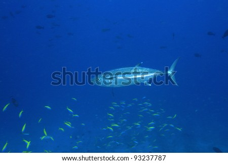 Dogtooth tuna in the blue water of the ocean