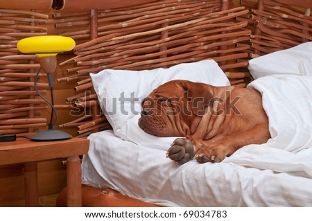 Dogue De Bordeaux Comfortably Sleeping in bed with white sheets