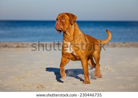 dogue de bordeaux on the beach