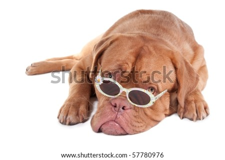 Dogue de Bordeaux puppy looking over sunglasses, isolated on white background