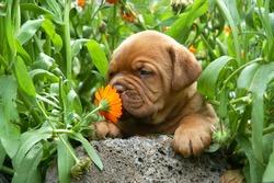 Dogue de Bordeaux puppy smells a flower