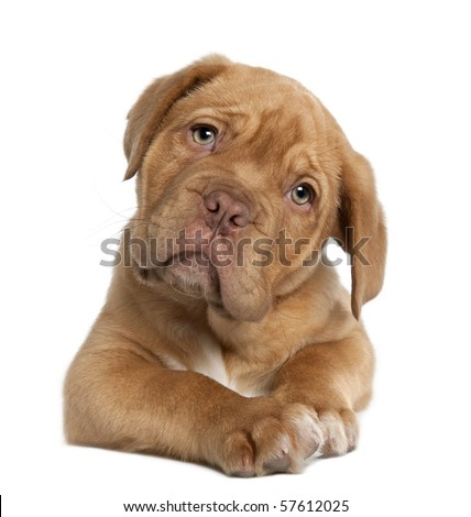 Dogue de Bordeaux puppy, 10 weeks old, lying in front of white background
