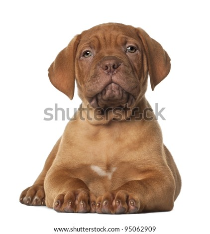 Dogue de Bordeaux puppy, 8 weeks old, lying in front of white background - stock photo