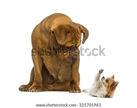 Dogue de Bordeaux sitting and looking at a Chihuahua in front of a white background #321701963