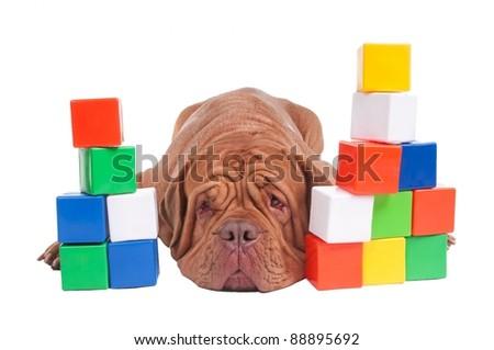 Dogue de bordeaux with colorful construction blocks